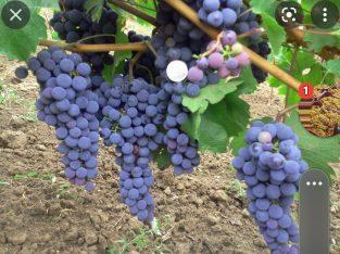Struguri de vin direct de la producator
